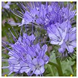 Everwilde Farms - 1/4 Lb Lacy Phacelia Native Wildflower Seeds - Gold Vault