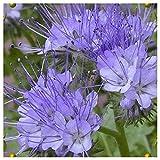 Everwilde Farms - 1 Lb Lacy Phacelia Native Wildflower Seeds - Gold Vault
