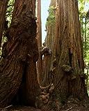 Muir Woods Redwood Grove, Mount Tamalpais, Marin County, California - Matted Photo Art Print, 11