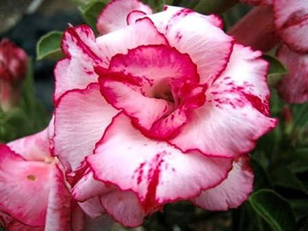 "Plumeria//Plants//Flowers///""Beautifulpink/""//Fresh 50 seeds"