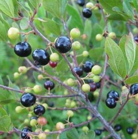 Amazon.com : Black Huckleberry - Rare Fruit Seeds (30) : Garden ...