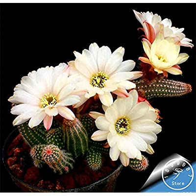Loss Promotion!100pcs/Lot Mini Cactus plantas (Astrophytum) Succulents Plants Bonsai DIY Home Garden Rare Flower Flores, #6J781A : Garden & Outdoor