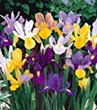 Dutch Iris Mixed Color, Perennial Iris 12 Bulbs