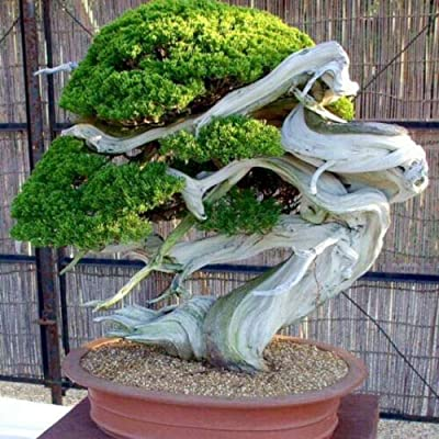 20 Seeds Bristlecone Pine Pinus Aristata Oldest Living Tree in The World Tree Seeds for Planting SC9-RR : Garden & Outdoor
