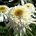 """Mozzarella Coneflower - Echinacea - 4"""" Pot"""
