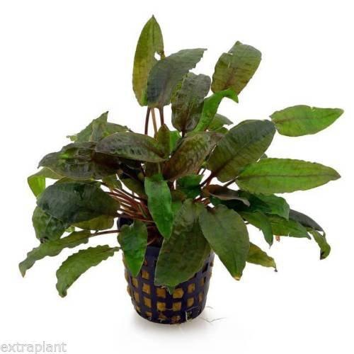 Cryptocoryne Wendtii Tropica Pot Crypt Live Aquarium Plants BUY2GET1FREE