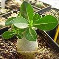 New new arrival 24 colors rare desert rose seeds real Thailand Adenium obesum seeds flower bonsai plant mini tree giant flower 2pcs