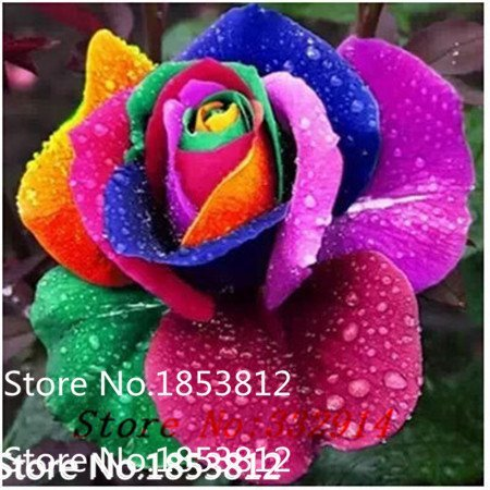 Sale! 100 Black Dragon Rose Seeds ,beautiful stripe rose bush plant ,DIY Home Garden -