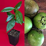 Black Sapote Diospyros Nigra Chocolate Pudding Plant Tropic Fruit Tree 10-13""
