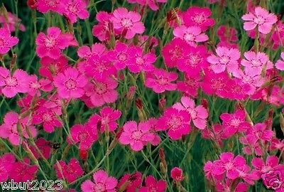 "Dianthus Deltoides "" Maiden Pinks 'Brilliant' (3000 Flowers Seeds) Perennial"
