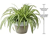 Costa Farms Chlorophytum comosum Spider Live Indoor Plant, 10-Inches Tall, Ships in White-Natural Décor Planter