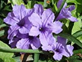 Ruellia Tuberosa (20 seeds) fresh this season's harvest from my garden