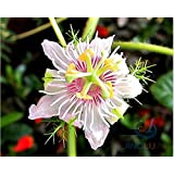 Passiflora foetida, Water Lemon Passion Flower, 20 seeds, tasty fruit, vigorous vine, zone 9 to 11, great houseplant
