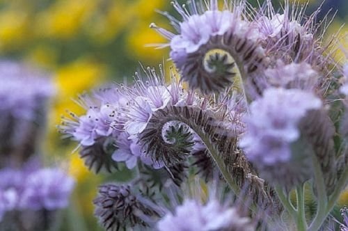 Lacy Phacelia 250 Seeds Long Blooming Light Blue to Purple Bell Shaped (Bell Shaped Flowers)