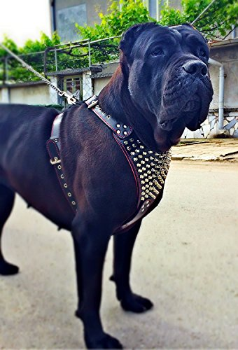 Bestia ''Gladiator Genuine Leather Dog Harness, Large Breeds, Cane Corso, Rottweiler, Boxer, Presa, Bullmastiff, Dogo, 100% Leather, Spiked & Studded. Hand Made by Bestia (Image #3)
