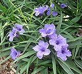 Mexican Petunia Ruellia Brittoniana Perennial 10 Plant Shrub Garden Landscape