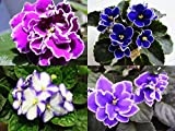 Matthiola Incana Seeds 30+ Mix Colors Violet Cornuta Flower Seeds (Matthiola incana) for Home Garden Outdoor Yard Farm Planting