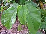 10 Seeds Milicia excelsa African Teak, Iroko Tree
