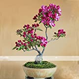 (DRA *Ambizu*) 1 Professional Pack, Approx 10 Seeds / Pack, Dark Red Apple Flowering Plant Bonsai Tree Seed