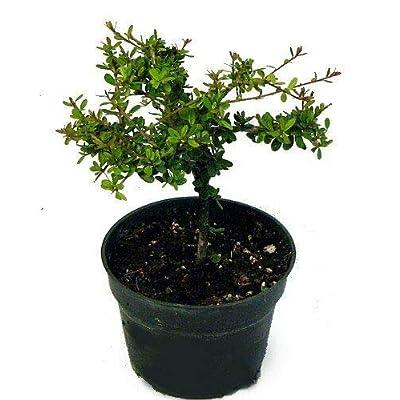 """AchmadAnam - 4"""" Pot - Nia Bonsai Starter Tree - Neea buxifolia - Easy to Grow, Plant, Tree, Bonsai : Garden & Outdoor"""