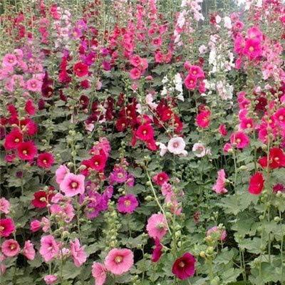 GEOPONICS Semillas: Multi color malva flor Bonsai Alcea rosea ...