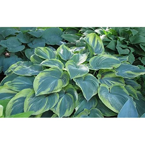 'Earth Angel' Hosta – Quart Pot – Healthy – Heavy – Perennial – Ea 1 by Growers Solution