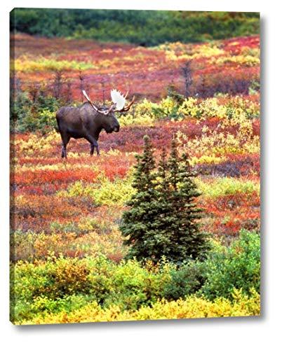 AK, Denali NP Bull Moose and Autumn Tundra by David Kelley - 9