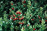 1 Packet - 10 Seeds of Butchers Broom/Ruscus aculeatus