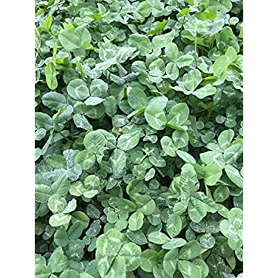Boonetown Seed White Clover Seed Blend, 4 LB Bag .5 Acre Coverage, Lucky 4 Leaf White Dutch, Durana, and Premium Ladino Clover, Food plot Seeds for Planting for Deer or lawns : Industrial & Scientific
