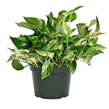 "AMERICAN PLANT EXCHANGE Marble Queen Pothos Indoor/Outdoor Air Purifier Live Plant, 6"" Pot"