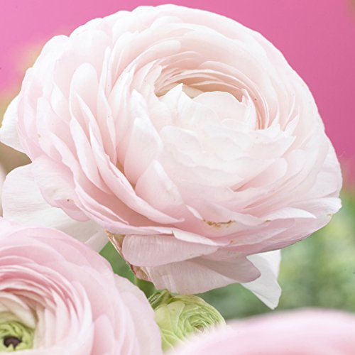 Van Zyverden Butter Cups Ranunculus Pink Set of 25 Bulbs