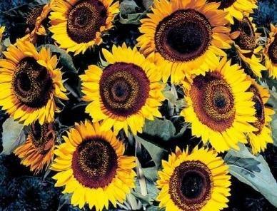 David's Garden Seeds Sunflower Taiyo DGSSUN121JH (Yellow) 500 Hybrid Seeds