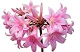 Fresh Naked Lady Bulbs - 5 Bare Root Bulbs of Amaryllis Belladonna - Beautiful Amaryllis for Outside