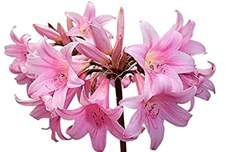 Amazon amaryllis belladonna naked lady 3 large bulbs amaryllis belladonna naked lady 3 large bulbs mightylinksfo