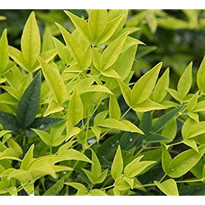 "AchmadAnam - Live Plant - Nandina 'Lemon Lime' - Nandina Domestica 'Lemon-Lime' - 1 Starter Plant -4"" to 6"" Tall - Ship in 1 Gal Pot. E9 : Garden & Outdoor"