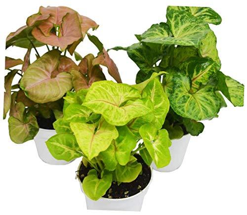 FXI Live Plant 3 Different Syngonium Plants - Arrowhead Plants / 4'' Pot - EB13 by FXI