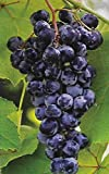 Concord Grape Vines - Purplish Red Seedless Grapes 2 yr Old Bare Root - 3 Plants