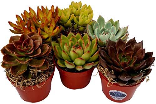 - Fat Plants San Diego Large Rosette Succulent Plant Collection in Plastic Growers Pots