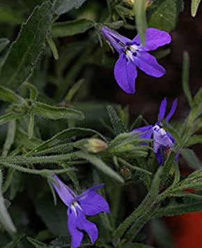 5 Lobelia Hot Water Blue Plug Plants New Pack Amazoncouk