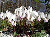 YoYoBoo 2016 New White Rose Pink Cyprus Cyclamen Hederifolium Seeds