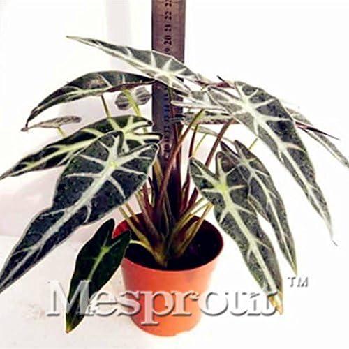 Nuevo Hogar Jardín de Plantas Negro Alocasia semillas, plantas de interior Bonsai Acuáticos (Herba Monachosori Henryi) Semillas - 50PCS: Amazon.es: Jardín