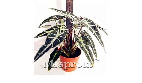Seeds Herba Monachosori Henryi New Home Garden Plant Black Leaf Alocasia Seeds 50PCS Indoor Bonsai Aquatic plants