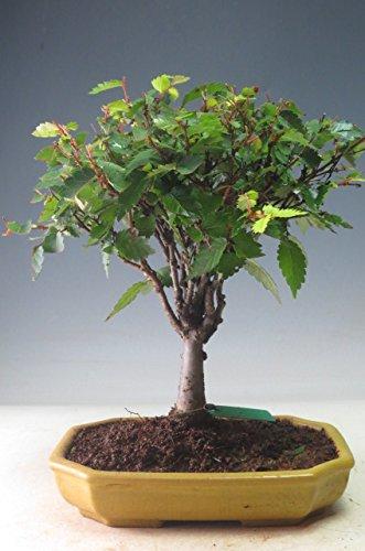 盆栽 ケヤキ(ホウキ立ち)の鉢植え【現品】 B00AQGDXRA