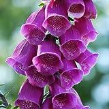 Plant World Seeds - Digitalis Purpurea Seeds