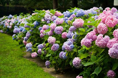Endless Summer Hydrangea Large WellDeveloped Plants for Instant Hydrangea Blooms not seeds quarts or saplings The Most Popular Hydrangea Macrophylla