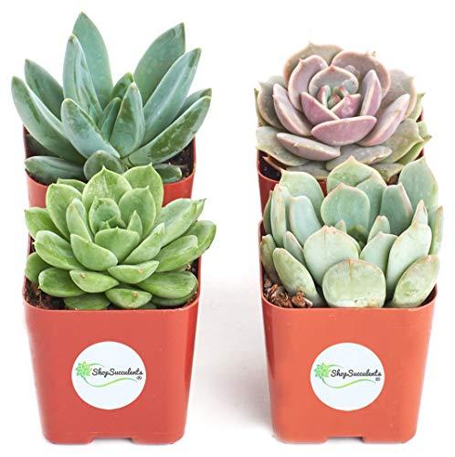 Shop Succulents Rosette Succulent (Collection of 4)