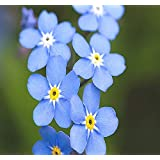 Big Pack - (50,000) French Forget Me Not, Myosotis sylvatica Flower Seeds - Perennial Zone 3-9 - Flower Seeds By MySeeds.Co (
