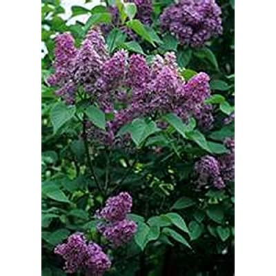 Lilac- Common- 10 Seeds - 50 % off sale : Garden & Outdoor