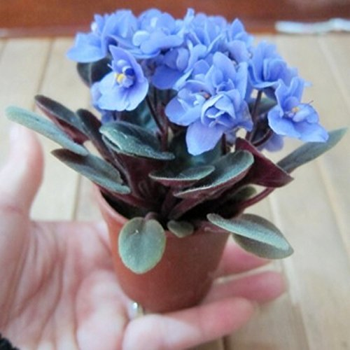 Beautiful plant Bonsai flower seed,African mini sky blue violet seeds - 40 seeds