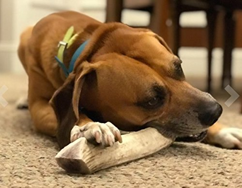 Elk Antlers for Dogs Large, Premium, Grade A, 100% Natural Shed, Dog Antler Chews - The Perfect, Long Lasting Antler Chews for Dogs